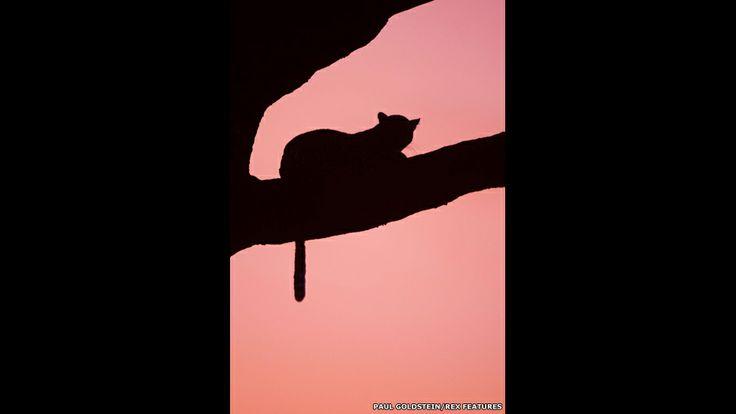Gato grande en un árbol al anochecer.  Paul Goldstein / Rex Features