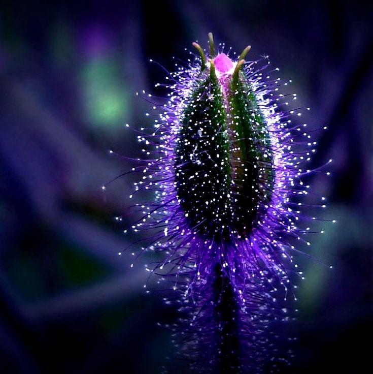 sparkly bud  ♥ repinned by www.earthangel-family.de