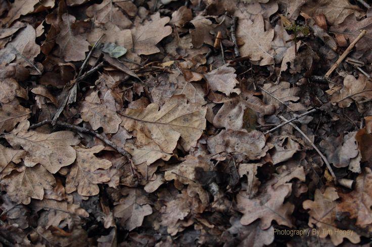 European Oak (Quercus robur) [09002] www.timhoney.co.za