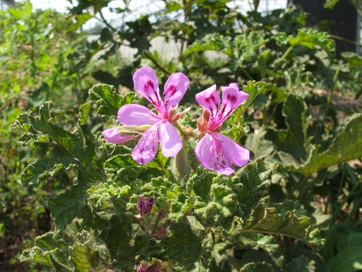 P. quercifolium (odoroso)