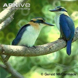 Mangaia kingfisher (Todiramphus ruficollaris) occurs only on Mangaia Island, the most southerly island in the Cook Islands (5).