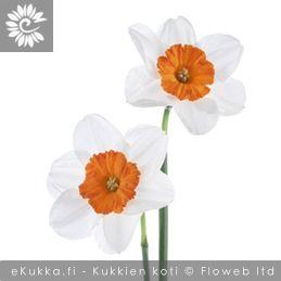 Tasetti, Narcissus tazetta