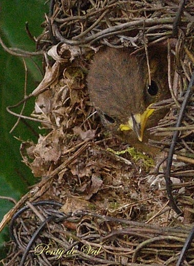 .passerine hatchling in a sphere. Only 23%of passerines make enclosed structures.