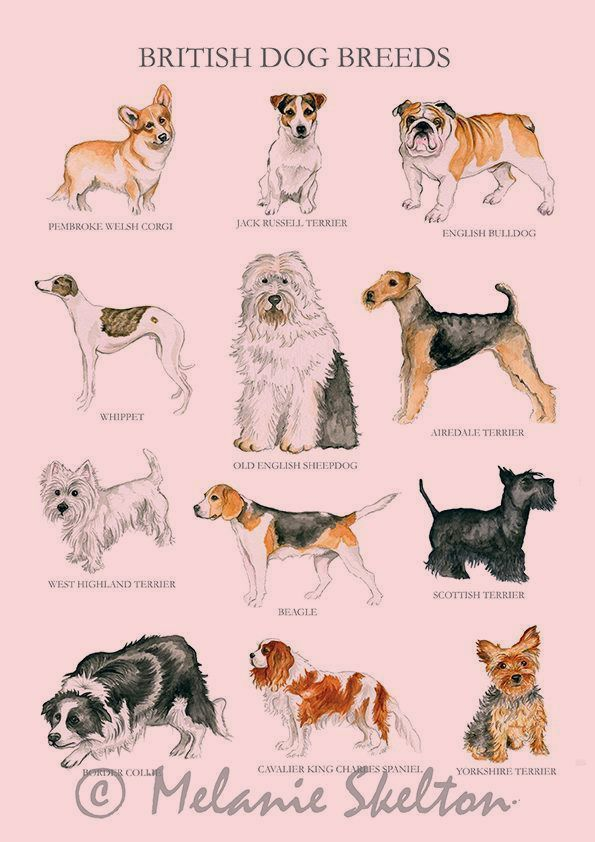 Dog Breeds Illustration Breeds Illustration Hunderassen Illustration Illustration De Races De Chiens Ilustraci In 2020 Dog Breed Poster British Dog Breeds Dogs