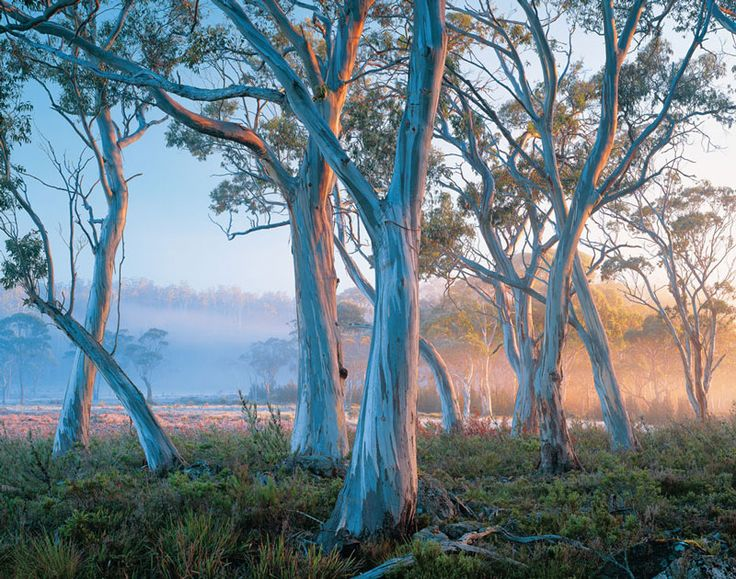 I love gums and grass perfect garden!! They look painted... Snow Gum trees in Tasmania.