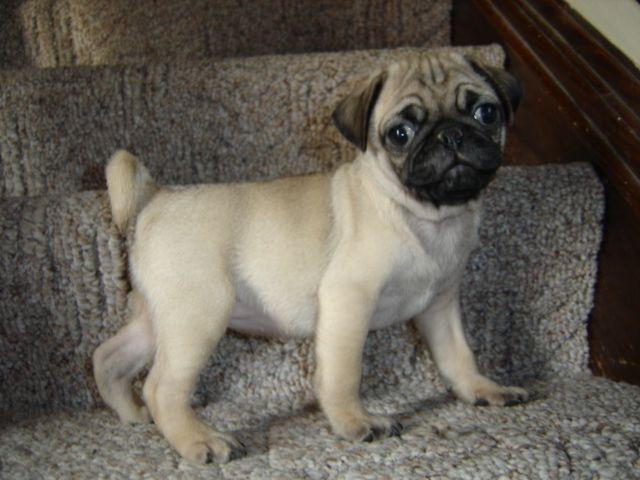 Iowa Family Pug Breeders Pug Breeders Pugs Pugs For Sale