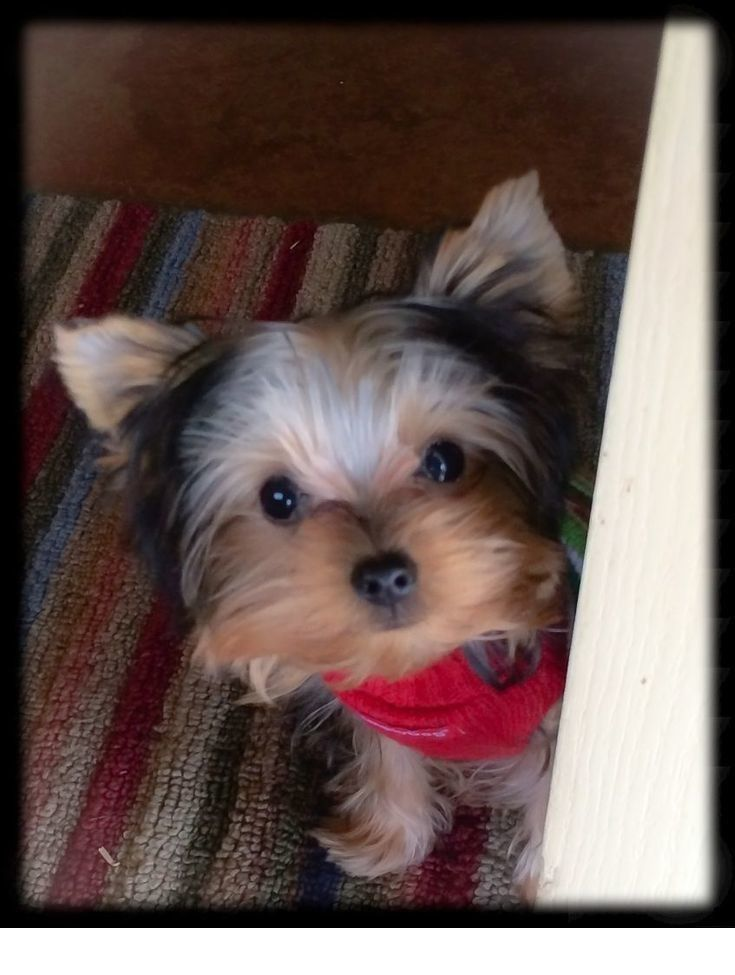 Read Information On Teacup Puppies For Sale Just Click On The Link To Learn More The Web Teacup Puppies Teacup Puppies For Sale Yorkshire Terrier Puppies