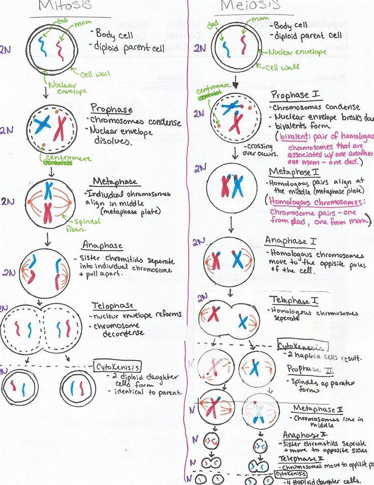 meiosis stages worksheet için resim sonucu Biyoloji