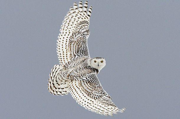 Kuuntele: Tunturipöllö | Suomen Luonto