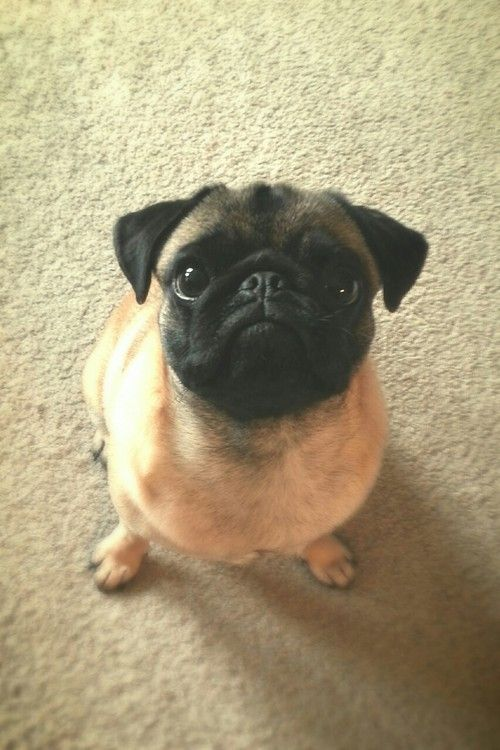 Little pug is back-sassing you in his mind right now