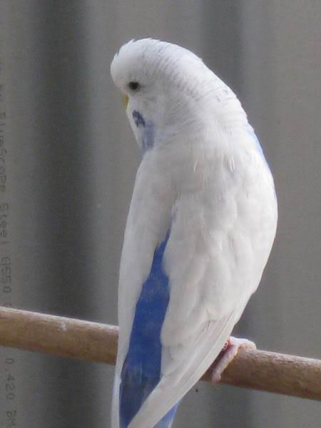 Sky Blue Budgie | My heart is aching to buy her/him.