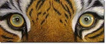Image result for TIGER EYES