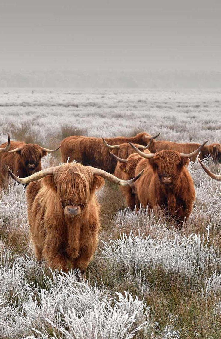 Schottische Hochlandrinder im Winter