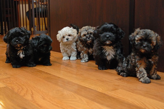Shih Poo puppies. Now that I have one, I feel like I will have to have one for the rest of my life! Love mine so much