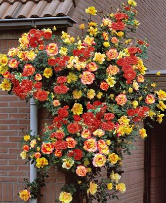 Climbing Joseph's Coat, a popular 20th century 'modern' rose, with bright colours, here against red bricks.