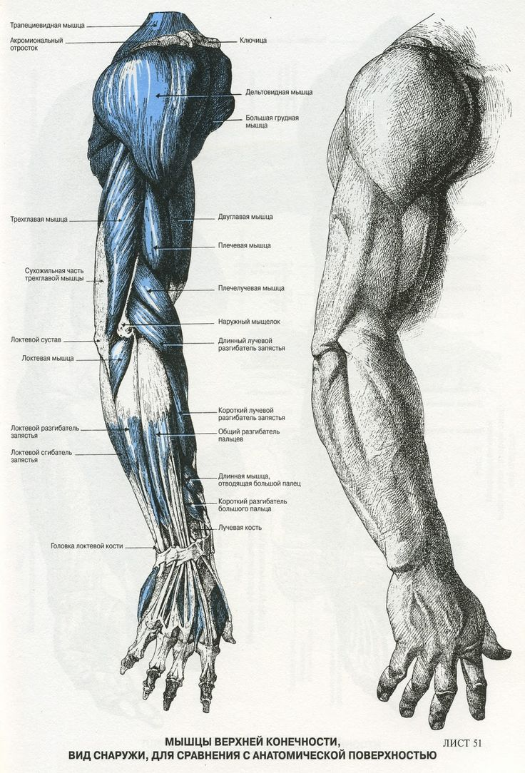 анатомия человека мышцы для художников: 22 тыс изображений найдено в Яндекс.Картинках