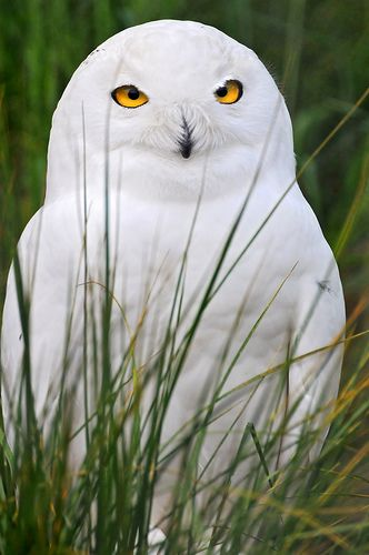 So pretty!: Cool Eye, Scavenger Hunting, White Owls, Snowy Owls, Barns Owls, Feathers, Birds, Owls Photos, Beautiful Creatures