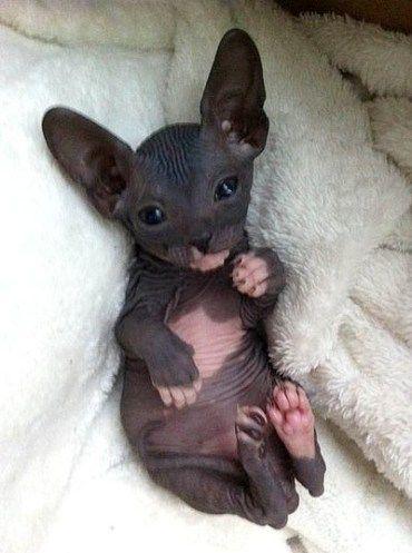 chats sans poils creatures magnifiques