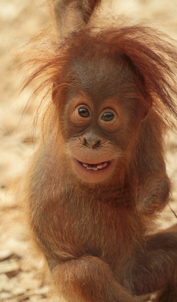 Adorable and Cute Yenko, the Baby Orangutan at Dortmund Zoo, Germany