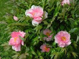 Imagini pentru bujori roz