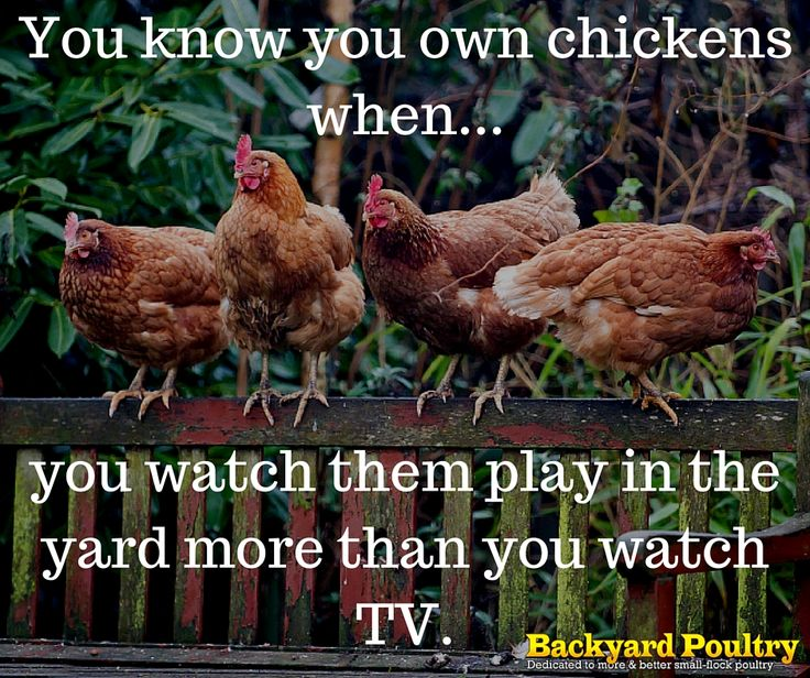 Backyard Poultry/funny/quote..