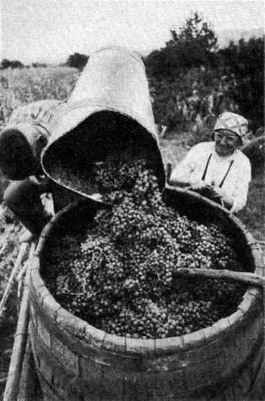 A puttonyos kádba önti a leszüretelt szőlőt 1970-es évek.
