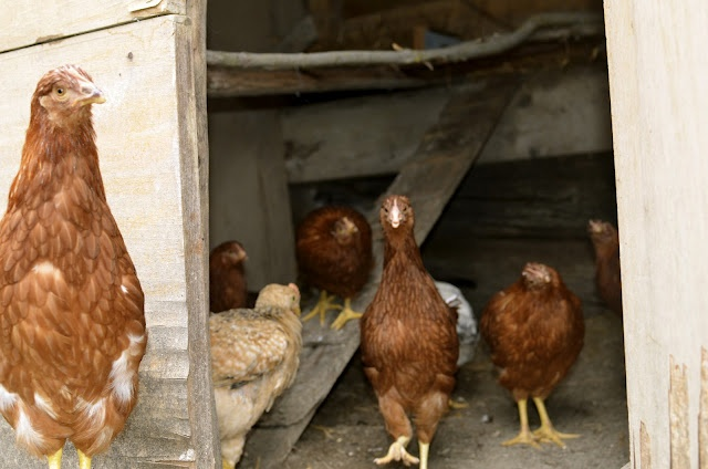 Welcome home to our new family of fowl! Eighteen hens & two young roosters arrived today.