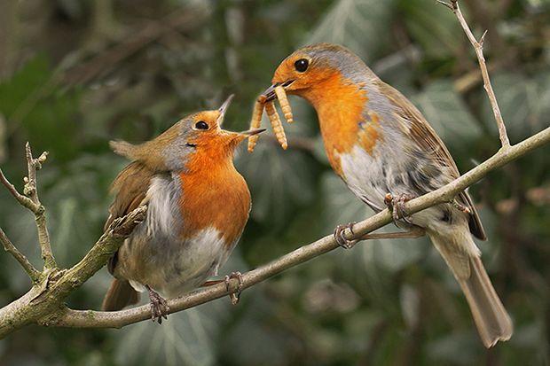European Robin (Erithacus rubecula)  Courtship feeding