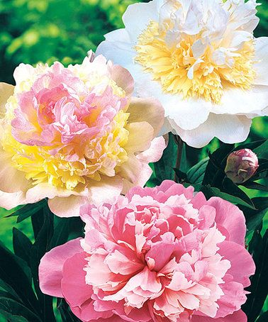 Loving this Live Sorbet Peony Bare-Root - Set of Three on #zulily! #zulilyfinds