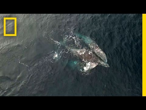 Rare Video: Whales Engage in Three-Way Mating Ritual | National Geographic - YouTube