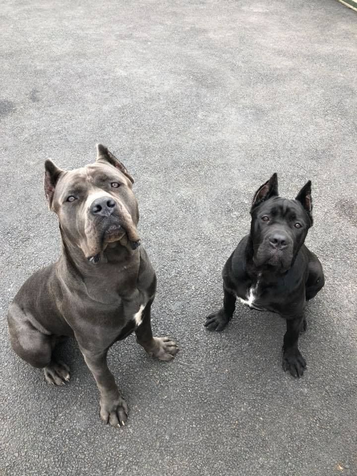 Canecorso Puppy Lax And Grendel Pdw Pitbull Puppies Family