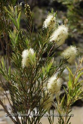 36 Best Images About Callistemon Tree On Pinterest