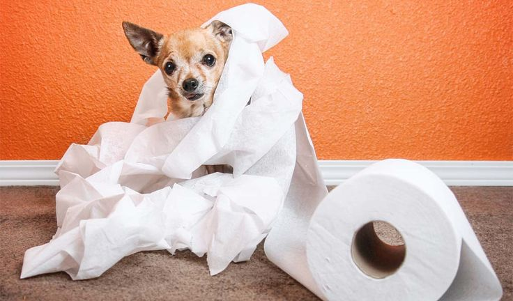 Most potential puppy owners dread the thought of house training their new canine companion. If you stick to a consistent schedule, learning how to toilet train a puppy isn't hard. It'll take a lot of time and patience, but your new four-legged family member will be going potty outside in no time. #puppies #dogs #toilet #puppy #training #housebreaking #pee #pets #adoption #housetrain