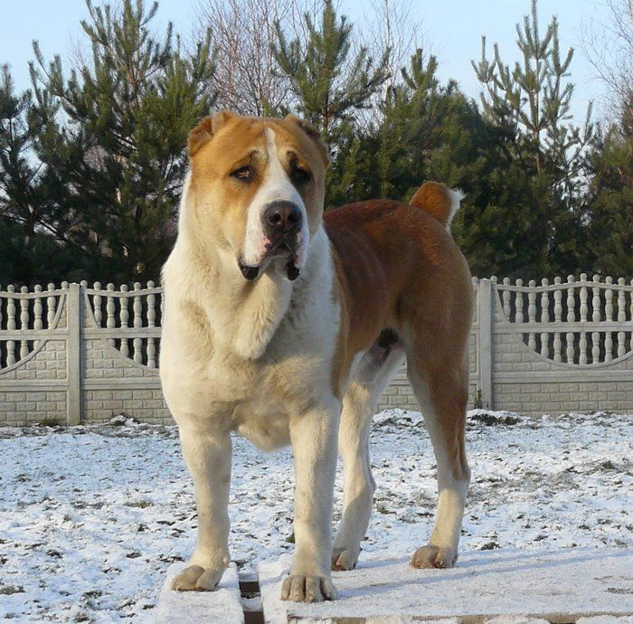 A beautiful example of my other favorite dog, the Central Asian Ovcharka (Aka shepherd dog)