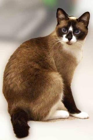 Snowshoe Cat (this looks just like my Wyatt,  except my boy doesn't have the dark spot on his nose. Heartbreakingly, our sweet Wyatt passed away 11/9/15. We'll miss you & love you forever, sweet angel boy!!! ~Cindy McMullen~)