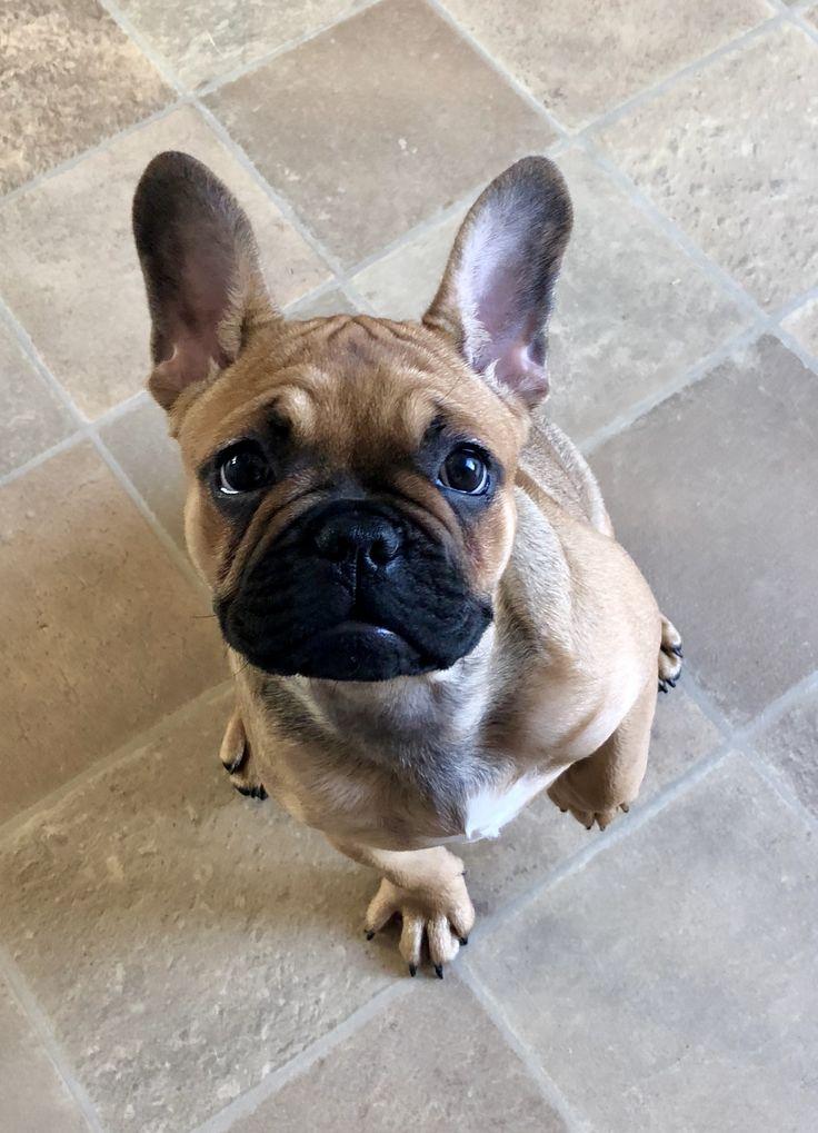 Pin Von Martina Wandl Auf French Dog