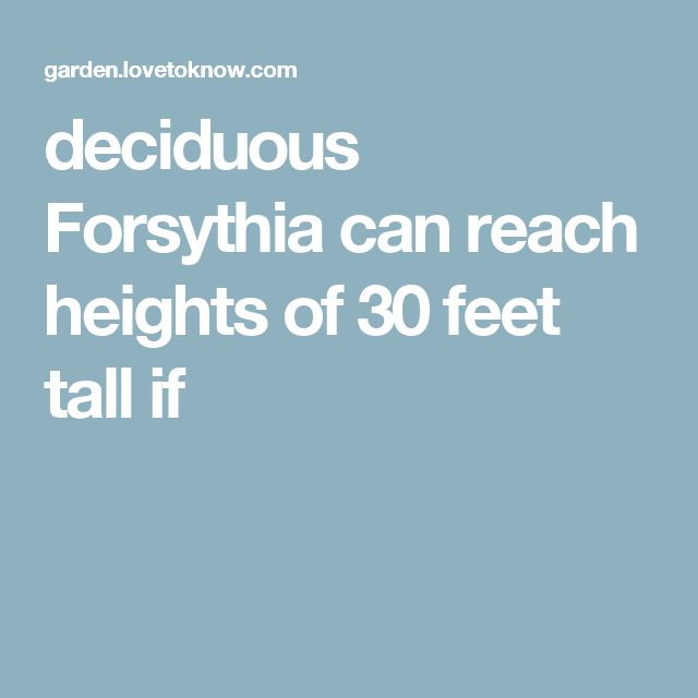 deciduous Forsythia can reach heights of 30 feet tall if