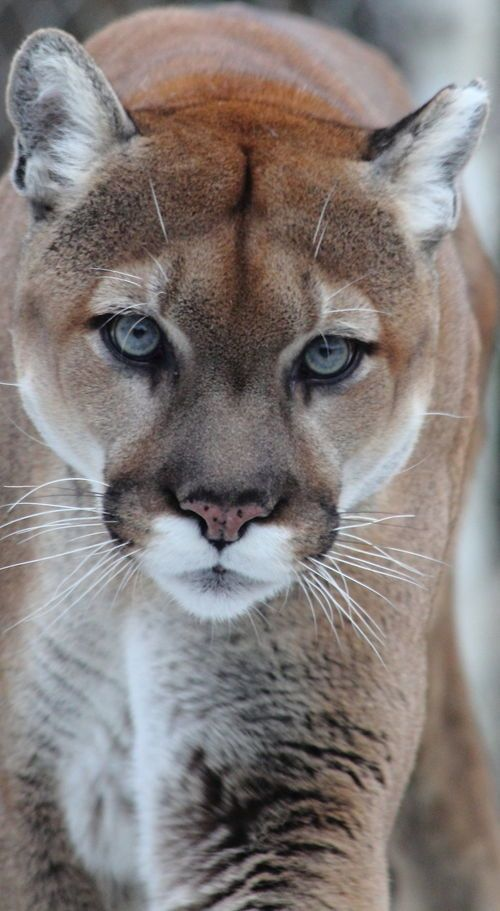 Look at the eyes of this mountain lion,  wow they're hypnotic.