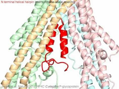 Multidrug ABC transporter, P-glycoprotein (with sound)