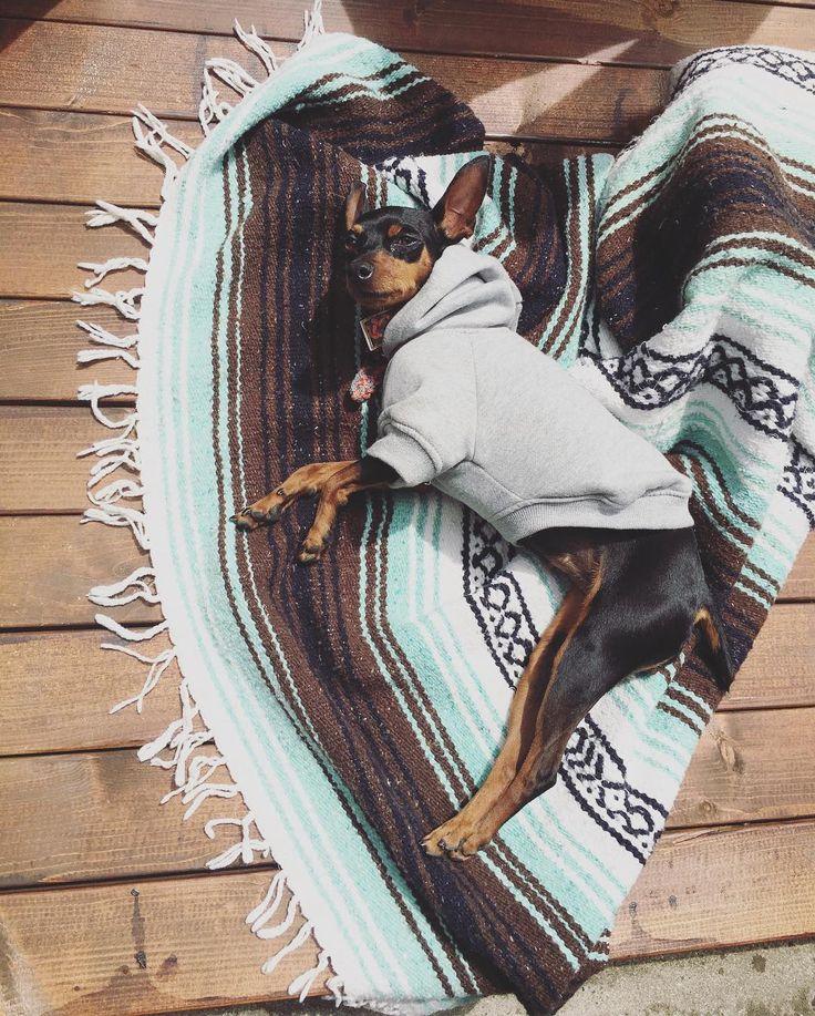 日向ぼっこ中 後ろ足ぴーん  #ルーニー#surf#shonan#instastyle#style#japan#ootd#instagood#trip#surftrip#サーフィン#湘南#今日のわんこ#ファッション#ミニピン#ミニチュアピンシャー#犬#愛犬#犬好き#instadog#里親#多頭飼い#萌え#かわいい#犬バカ部#わんこ by ena.5knot
