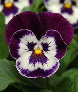 Pansy, Panola Purple Face
