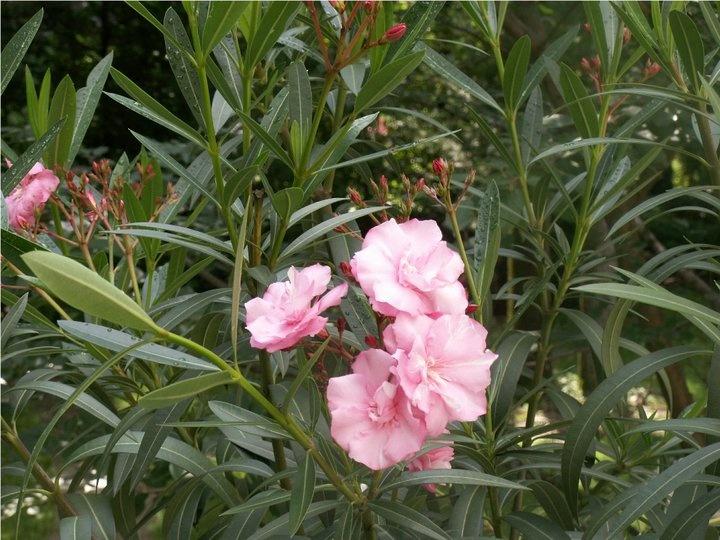 White Oleander Book Cover : Pink oleander plant books worth reading pinterest
