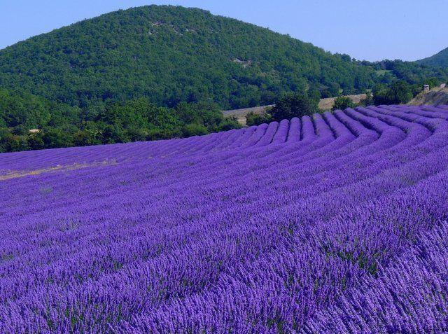 Lavender Fields. Lardier, Provence, France.