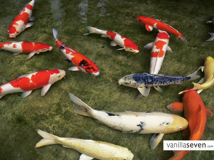 images of koi fishes | Koi Fish meaning in Japan is good fortune or luck they also are ...