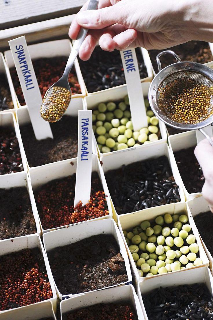 Maitopurkkeihin kylvetyt siemenet itävät viikossa. Katso helpot ohjeet siementen idätykseen!