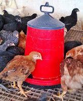 YUMURTALIK TAVUK-CİVCİV-HİNDİ: Saso civciv-saso tavuk- saso organik kırmızı yumurta tavuğu satışı