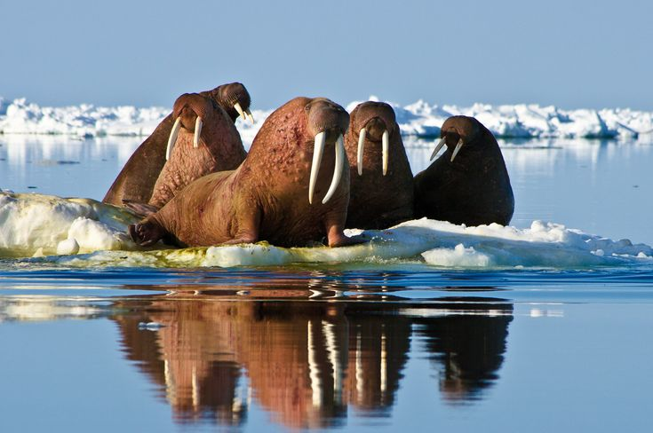 Pacific walruses -- which inhabit the northern seas off Russia and Alaska -- migrate in sync with pack ice, traveling south during the winter and north in the spring through the Bering Straight, according to the Wildlife Conservation Society. Females give birth during the spring migration north.