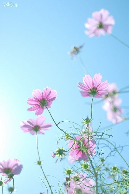 Delicate Pink Cosmos by Maiden11976
