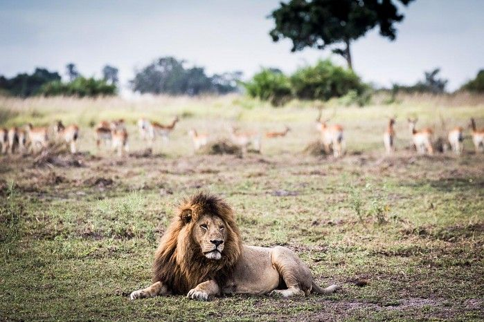 The Moporota Pride's new dominant male #Okavango #safari #bigcats