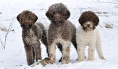 The Lagotto Romagnolo (pronounced la-goh-toe ro-man-yo-lo) ancestry reaches back to Etruscan times (7th Century BCE). A little breed of duck retriever it has existed as a distinct type of dog in the vast marshlands of Romagna in north-eastern Italy. His thick, curly coat has a woolly texture and covers the entire body, including the face. For centuries the Lagotto was used to help hunt waterfowl; later he became a truffle dog.